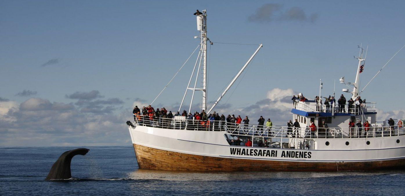 sperm whale lofoten capodogli andenes